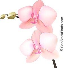 realista, orquídea, aislado, blanco, fondo.