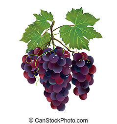 Realistic black grape with water drops isolated on white...