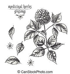 Realistic Botanical ink sketch of ginseng root, flowers and berries isolated on white. floral herbs collection. Traditional chinese medicine plant.