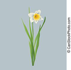 Realistic daffodil vector - Realistic daffodil/ narcissus ...