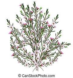 Geraldton Wax Plant - Realistic Geraldton Wax Plant Vector