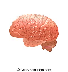 Realistic human brain isolated on white background.