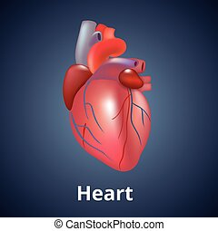 Realistic human heart isolated on dark gray background.