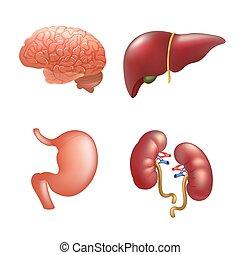 Realistic human organs set anatomy
