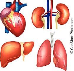 Realistic human organs set