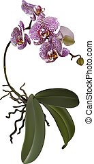 Realistic illustration of phalaenopsis and a branch of lilac spotted flowers, leaves and roots