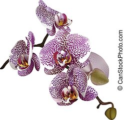 Realistic illustration of phalaenopsis: a branch of lilac spotted flowers