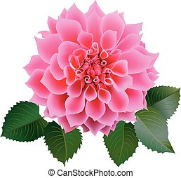 Realistic pink chrysanthemum or dahlias flower with four leaves