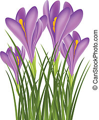 Realistic purple crocus for spring, isolated on white