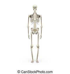 Realistic Skeleton Human Anatomy Isolated On White