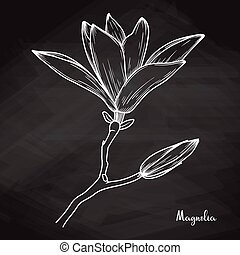 Realistic sketch of magnolia on chalk background. Vector...