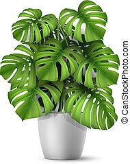 Realistic vector Monstera in a pot. - Monstera in a pot....