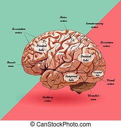 realistisch, plan, menselijke hersenen