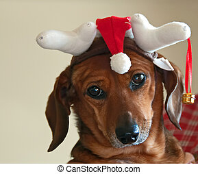 A photograph of a disgruntled dachshund wearing a Christmas hat