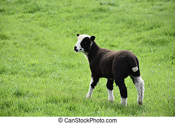 Really Cute Wooly Black and White Lamb in a Field