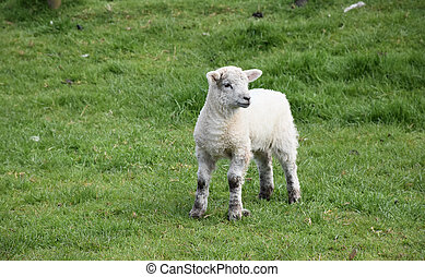 Really Sweet Young Lamb Standing in a Grass Field