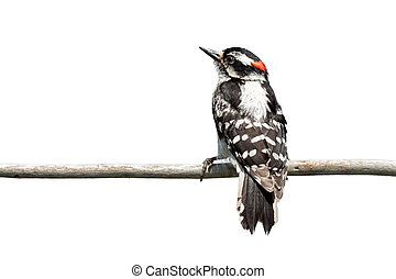 Rear View of a Downy Woodpecker