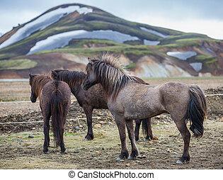 Rear view of Icelandic horses group in Landmannalugar...