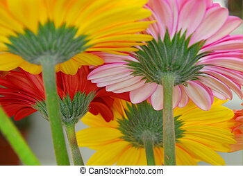 pink yellow red gerbera daisy flowers