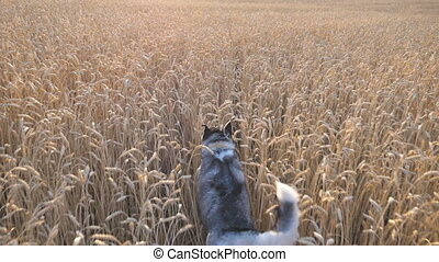 Rear view of siberian husky dog running fast through golden spikelets at meadow on sunset. Young domestic animal jogging on wheat field at summer day. Cute pet playing at countryside. POV Slow motion