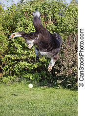 Rear view of the dog jumping for the ball