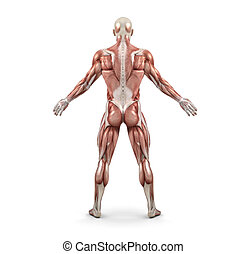 Rear view of the male muscular system