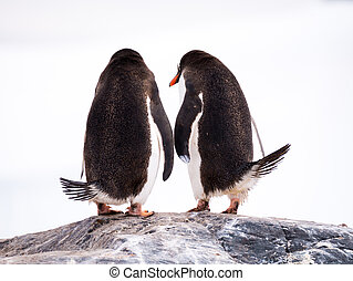 Rear view of two Gentoo penguins, Pygoscelis papua, standing on rock, Mikkelsen Harbour, Trinity Island, Antarctic Peninsula, Antarctica