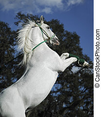 Beautiful white stallion with flowing mane rearing up against dark background of trees and sky.