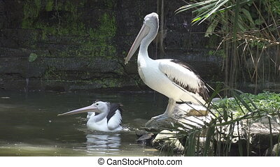 Reat white pelican and the pelican family