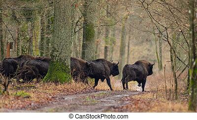 rebanho, afastado, corrida, europeu, bonasus), bison(bison