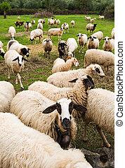 rebanho, de, sheep