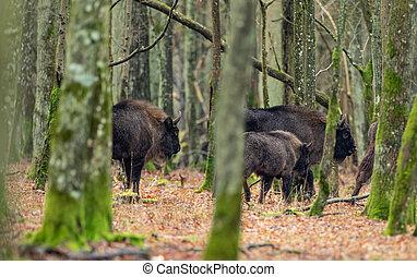rebanho, europeu, bonasus), bison(bison, hornbeams