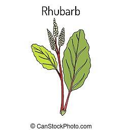 rebarbora, rheum, rhabarbarum, kuchařský, a, hojivý, plant.