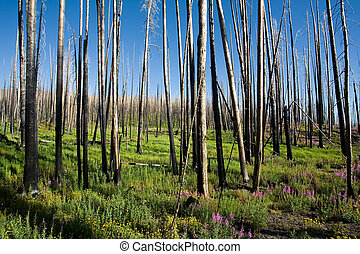 forest fire and the new life thereafter. yellowstone national park, by yellowstone lake, wyoming.