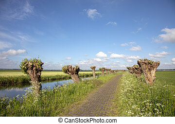 Recently pollarded willow trees,  on either side of a walking path, on the edge of a creek, in the Eemnes polder on a sunny day and clouds in the sky.