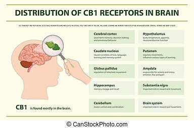 receptors, cb1, fördelning, infographic, horisontal, hjärna
