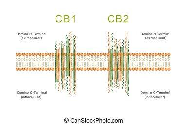 receptors, cb2, cb1, cannabinoid, struktur