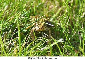 recherche, herbeux, grenouille, secteur
