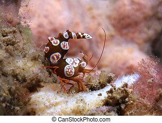 rechoncho, indonesia, estrecho, camarón, amboinensis),...