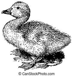 recién nacido, cisne de whooper