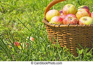 recientemente, manzanas rojas, en, el, de madera, cesta, en, hierba verde