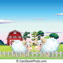 recinto, dentro, due, indietro, sheeps, granaio