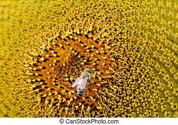 recoger, girasol, polen abeja