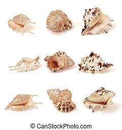 Recorte, Conjunto, conchas, aislado, mar, blanco, Trayectoria