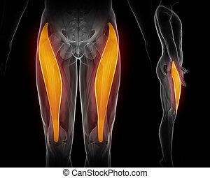 rectus femoris black anatomy muscle isolated