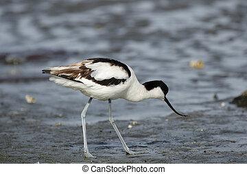 (recurvirostra,  Avocet,  avosetta),  pied, Namibie, plage