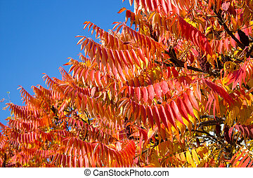 red acacia leaves