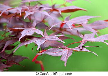 Red Acer palmatum