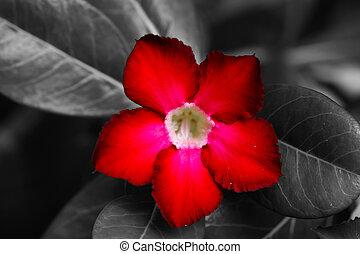Red Adenium obesum (Desert Rose, Impala Lily, Mock Azalea)