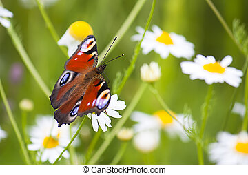 Red admiral butterfly in a field of daisy wildflowers